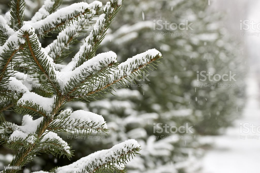 Pines with Snow royalty-free stock photo