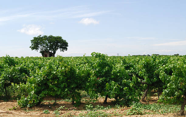 Pinet (France, near Beziers) - Vineyards stock photo