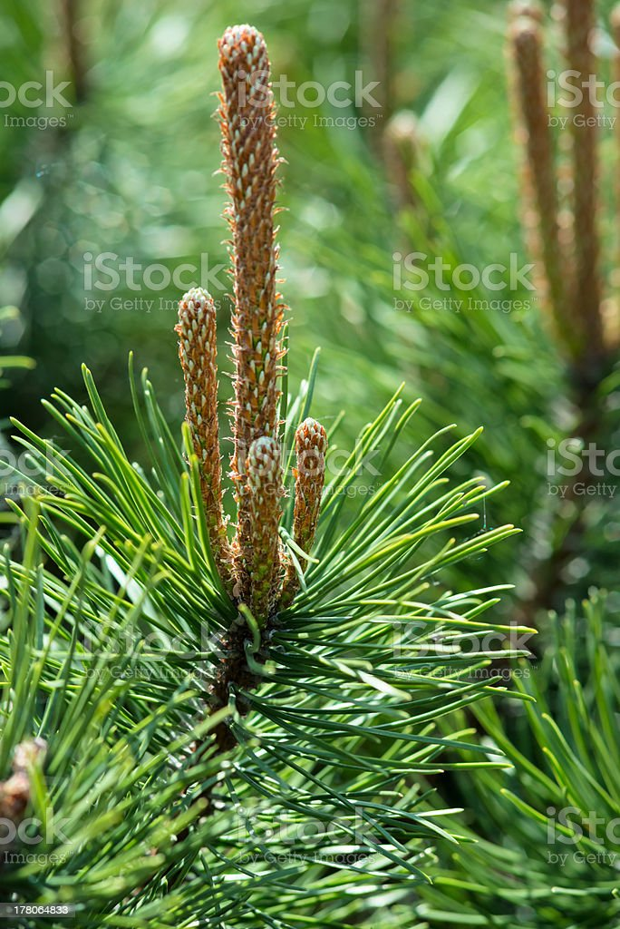 Pine-tree royalty-free stock photo