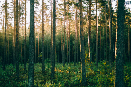 Morning sunrise through the pinewood treetops in Norwegian forest