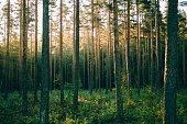 istock Pinewood forest in sunrise, Sognsvann, Oslo 1219243031