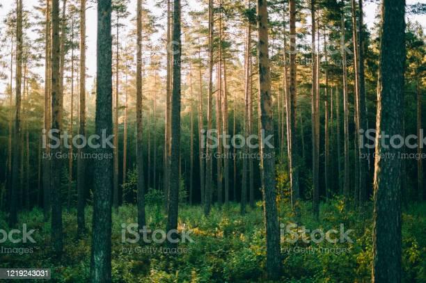 Photo of Pinewood forest in sunrise, Sognsvann, Oslo