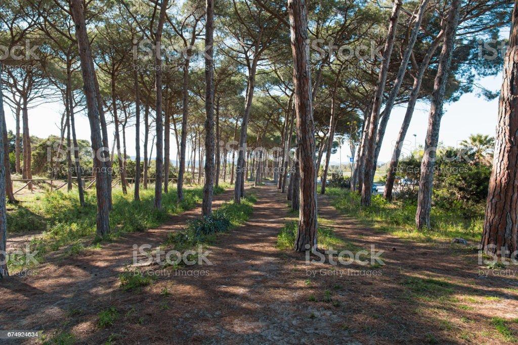 pinewood in Alghero royalty-free stock photo