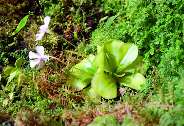pinguicula  in bloom - carnivora stock photos and pictures