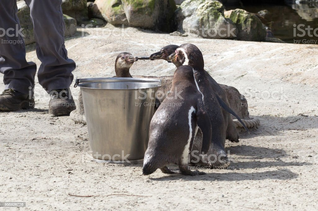 Pinguin is being fed stock photo