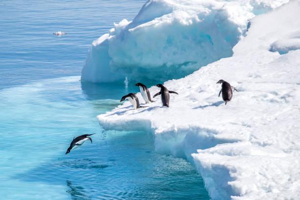 Pinguins em ação stock photo