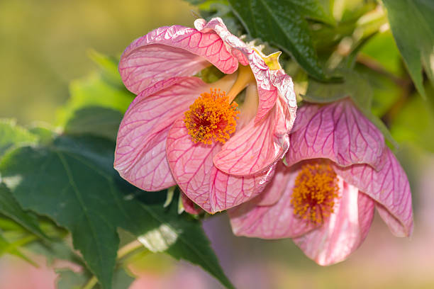Royalty free flowering maple pictures images and stock photos istock pink abutilon flowers in bloom stock photo mightylinksfo