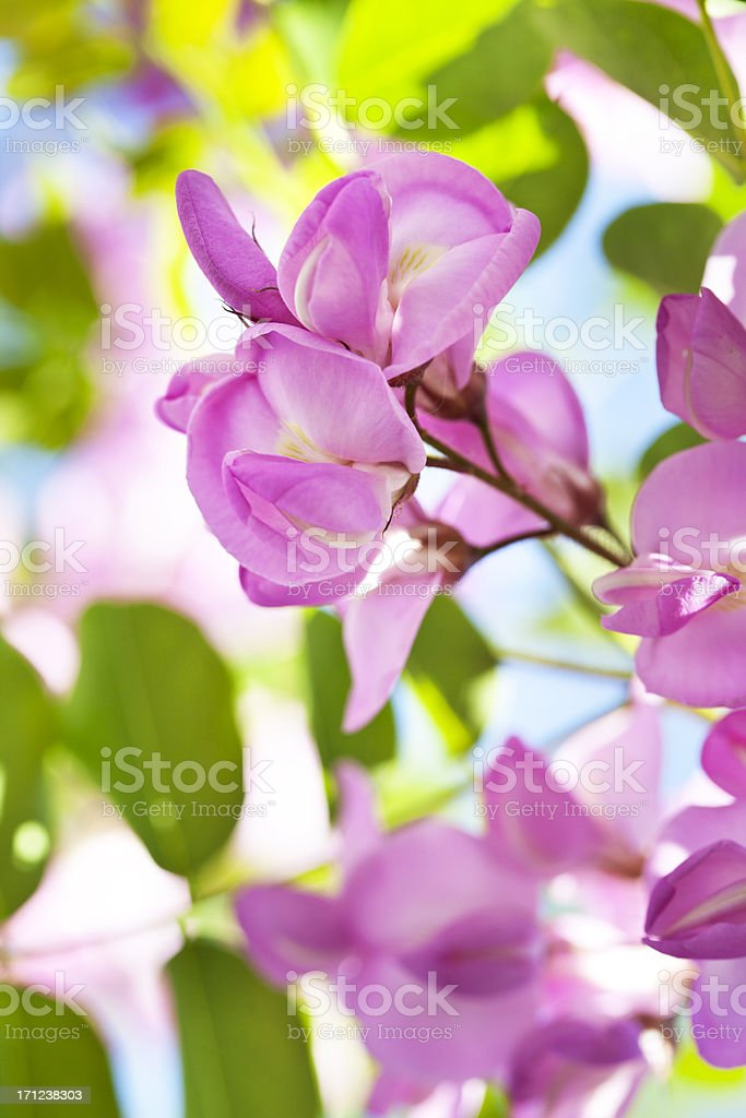 Pink acacia locust tree flowers stock photo more pictures of pink acacia locust tree flowers royalty free stock photo mightylinksfo