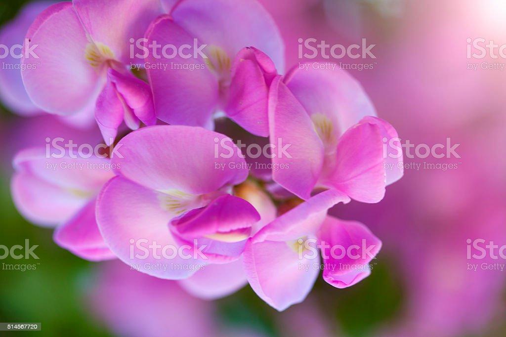 Pink acacia, locust tree flowers stock photo