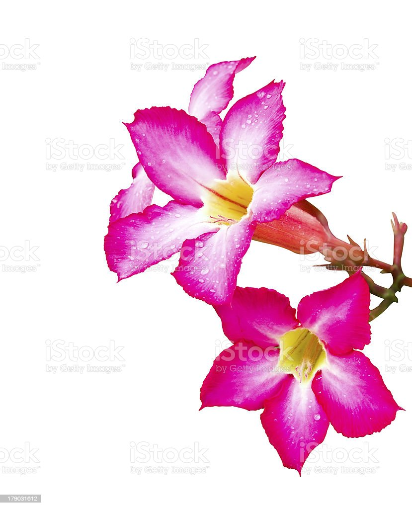 Pink Adenium flower isolated with water drop royalty-free stock photo