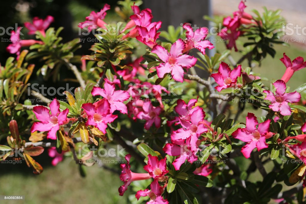 Pink Adenium flowers. stock photo