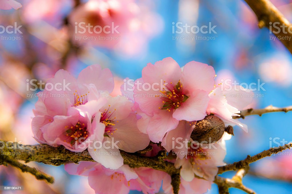 COLORS OF APULIA: SPRING. Pink almond blossom .ITALY
