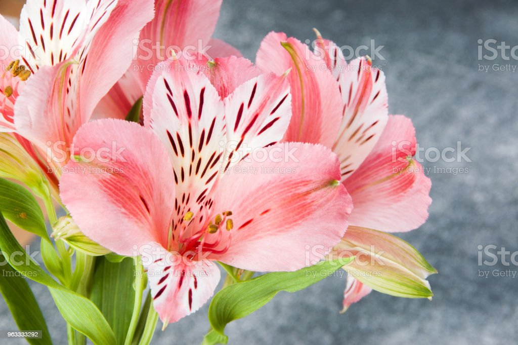 Pink alstroemeria, close up on gray background stock photo