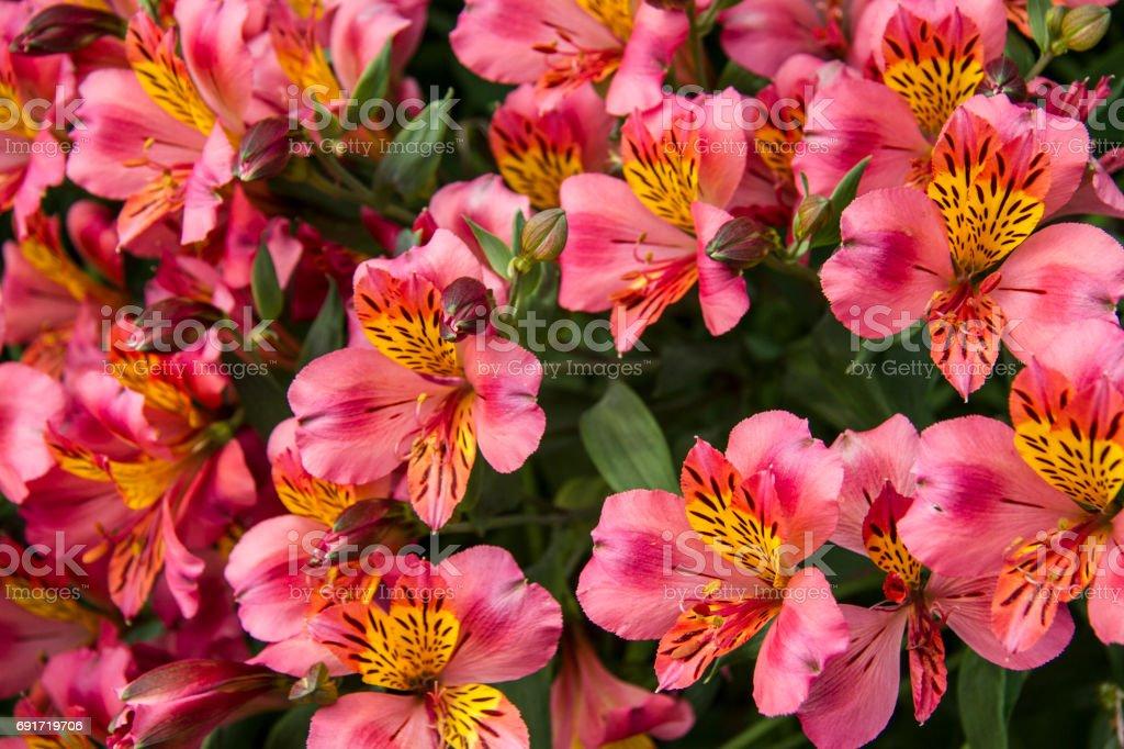 pink alstroemeria flower - pink Astromelia Flower – zdjęcie