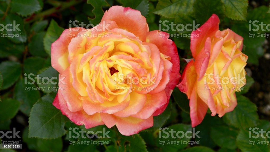 Pink and apricot rose blossom stock photo