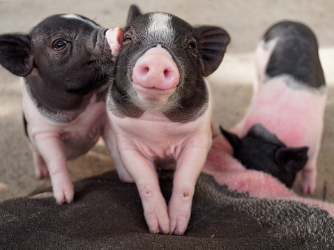 istock Pink and black pigs kissing showing love and friendship 917542054