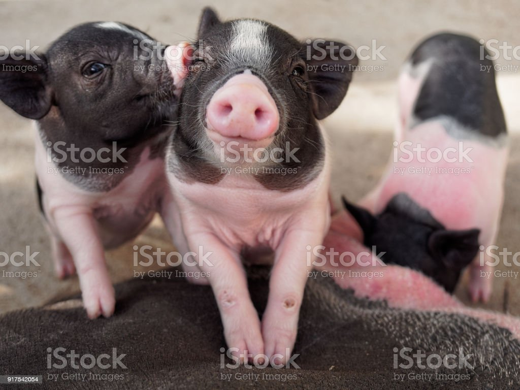 Pink and black pigs kissing showing love and friendship stock photo