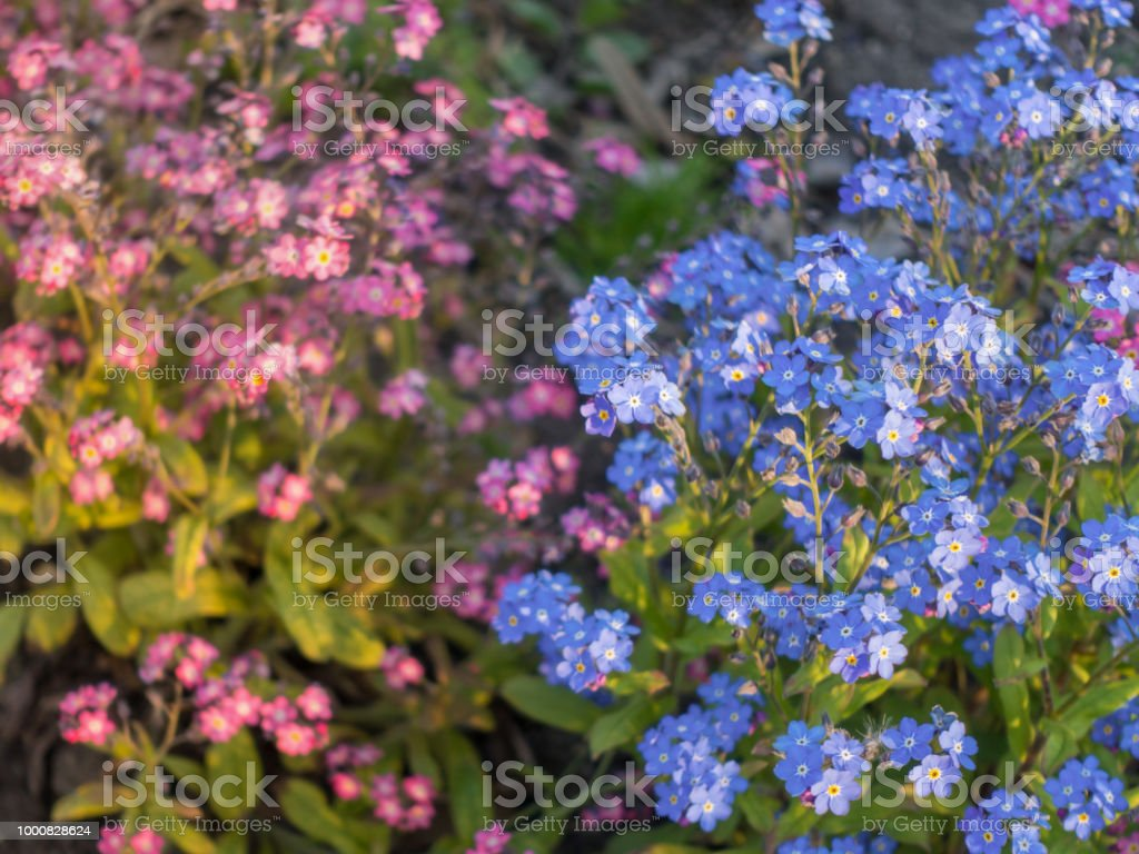 Pink And Blue Forgetmenot Flowers Stock Photo More Pictures Of