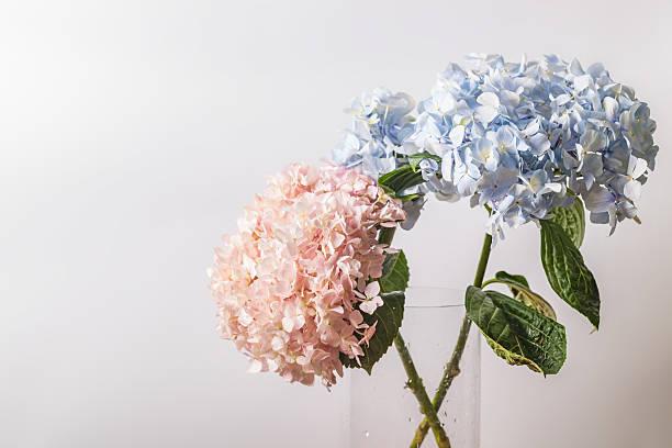 pink and blue hydrangea macrophylla macro shot with white background - flower bouquet blue and white bildbanksfoton och bilder