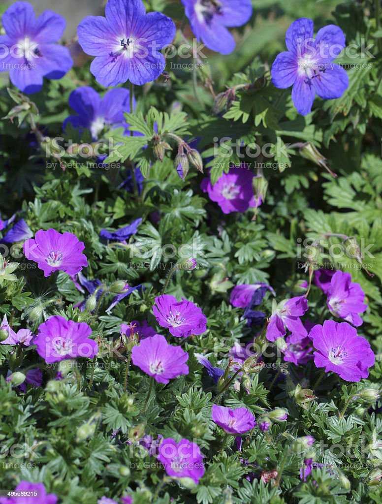 Pink and blue storksbill flowers stock photo more pictures of blue pink and blue storksbill flowers royalty free stock photo izmirmasajfo