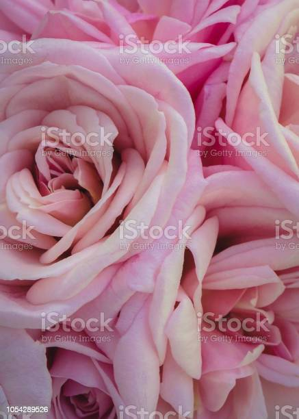 Pink and cream rose picture id1054289526?b=1&k=6&m=1054289526&s=612x612&h=6ojpvmssovzw0hotexgj6p4wrsbbcjli3fqoeo6q0wy=