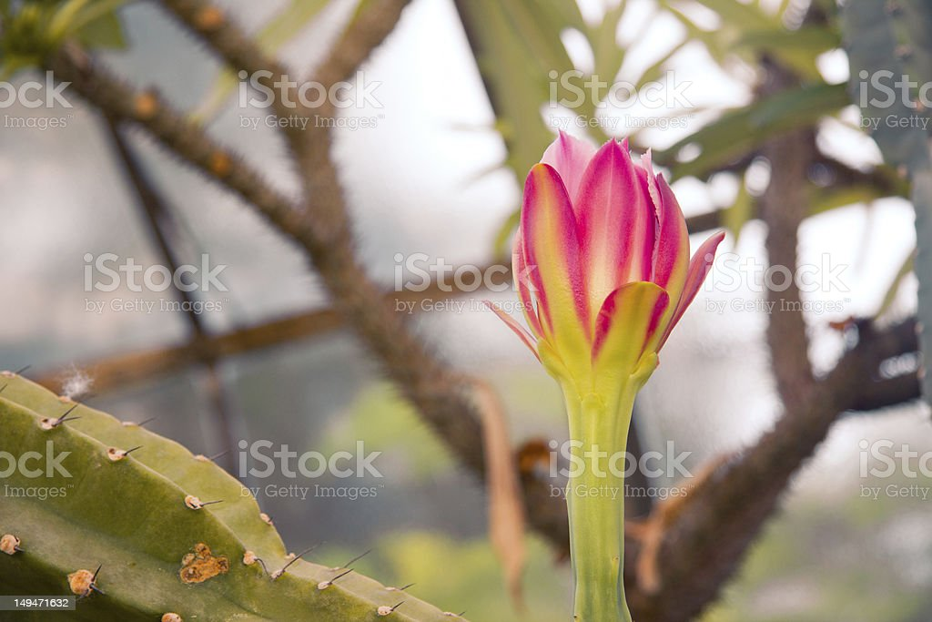 Pink and green cactus flower royalty-free stock photo