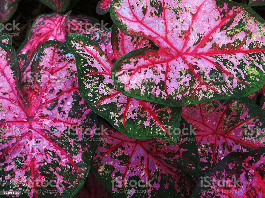 Pink and Green Leaf Caladiums Close Up Full Frame - Royalty-free Bright Stock Photo