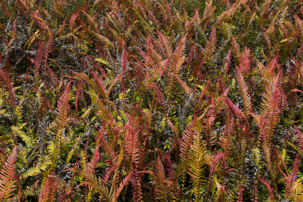Pink and green Rasp Fern fronds stock photo