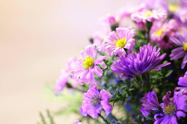 rosa und lila astern auf einem licht. ein strauß herbstblumen aus nächster nähe. - herbst hochzeitseinladungen stock-fotos und bilder