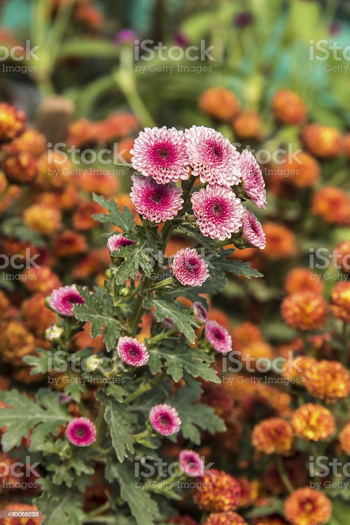 Pink and Orange flowers royalty-free stock photo