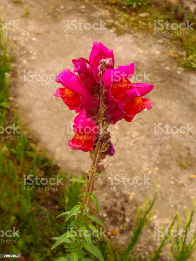 Pink And Orange Snapdragon Flower Stock Photo More Pictures Of
