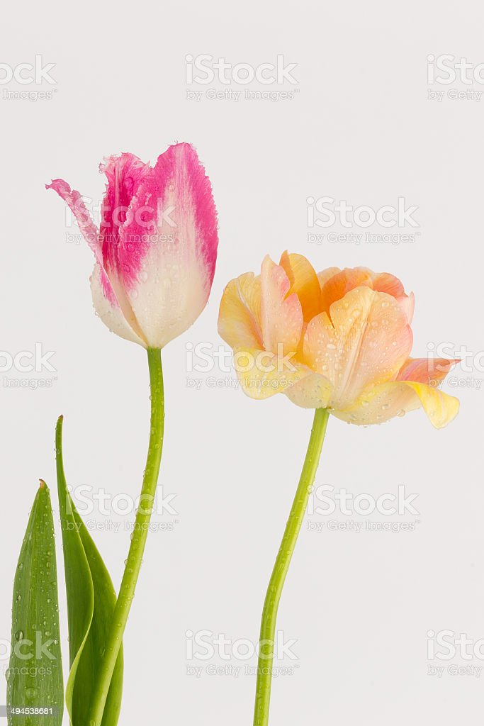 pink and peach tulips royalty-free stock photo