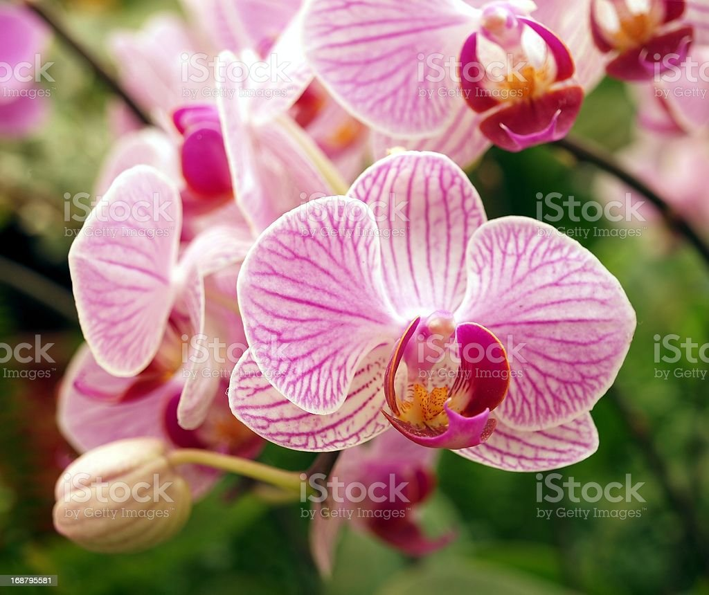 Pink and Purple Butterfly Orchids royalty-free stock photo