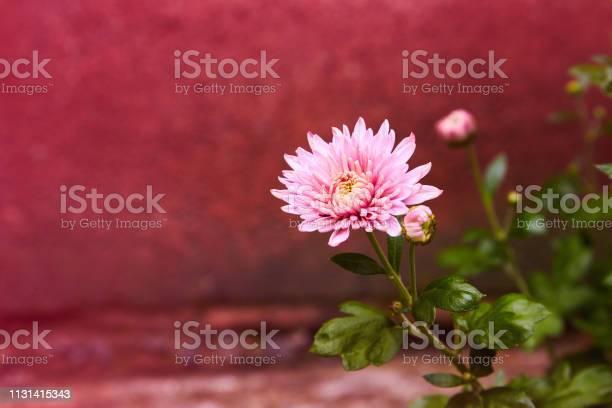 Pink and purple chrysanthemums picture id1131415343?b=1&k=6&m=1131415343&s=612x612&h=sxjb3kjkjtchjvamlw5tsy0a 5hehy68gliyaeyo7aa=
