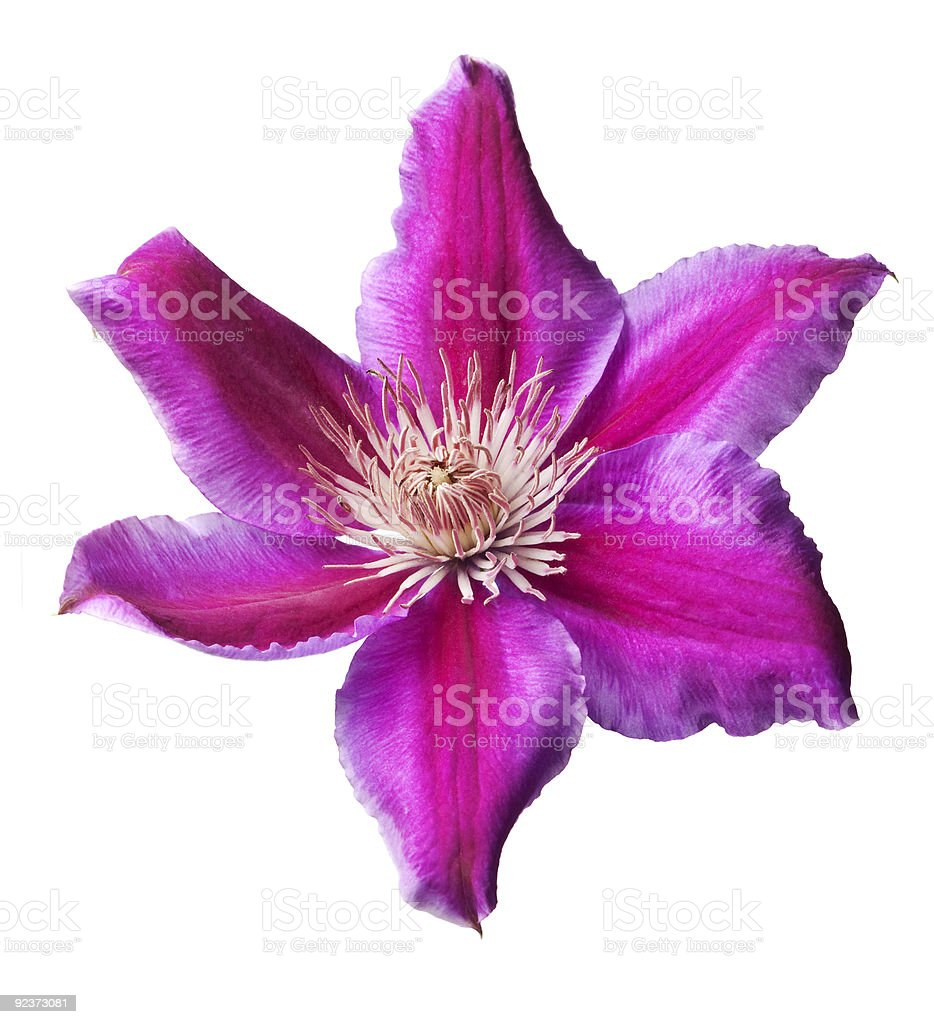 Pink and purple clematis isolated royalty-free stock photo