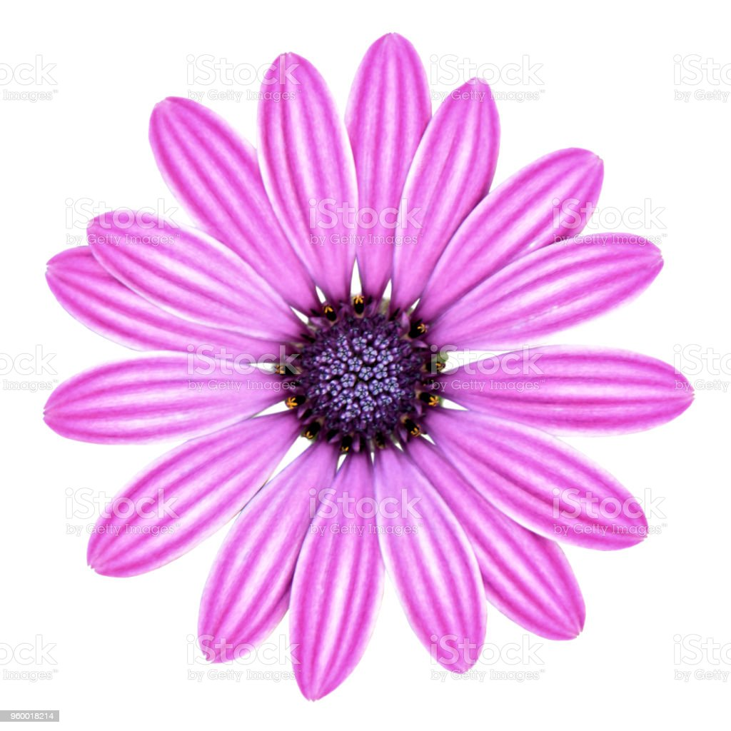 Pink And Purple Daisy Flower Isolated White Background Stock Photo