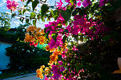 pink and purple flowers in bright rays of sunlight. Asia flowers in the park. Thailand country, Koh Samui island.