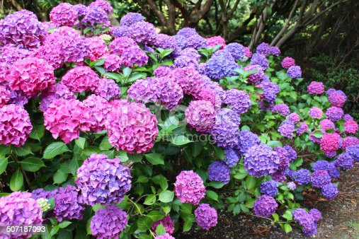 Photo showing a mass of pink, blue, lilac and purple flowers growing on a large hydrangea bush (Hydrangea macrophylla) next to the garden lawn.  Thse lacecap hydrangeas are enjoying a shady part of the garden, beneath some large trees that cast shade, and are pictured flowering in the middle of the summer.