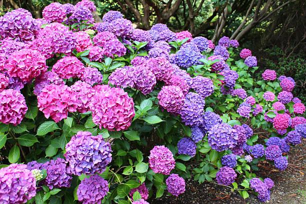 pink and purple hydrangea flowers, lacecap hydrangea bush, shady garden - hortensia stockfoto's en -beelden