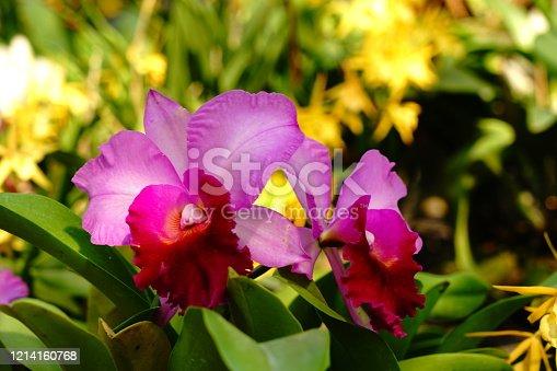 Purple and pink Sophrocattleya  Laeliocattleya Orchid in garden