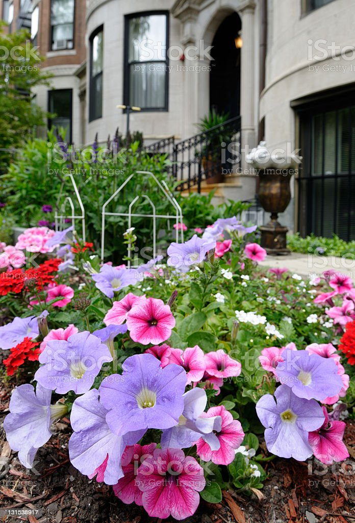 Pink and purple petunias in elegant urban garden stock photo