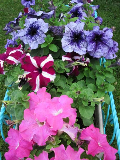 Pink and purple petunias in flower box stock photo