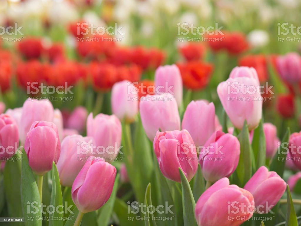 Pink and red color tulips field in nature backyard garden for winter and spring season stock photo