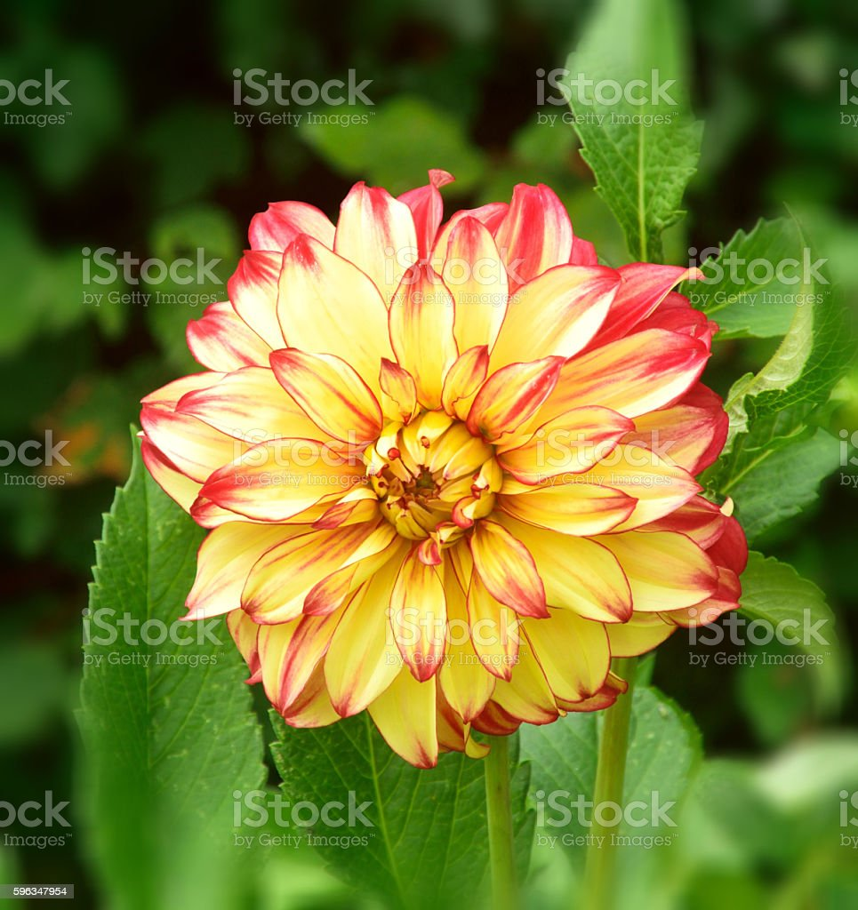 Pink and red Dahlia. royalty-free stock photo
