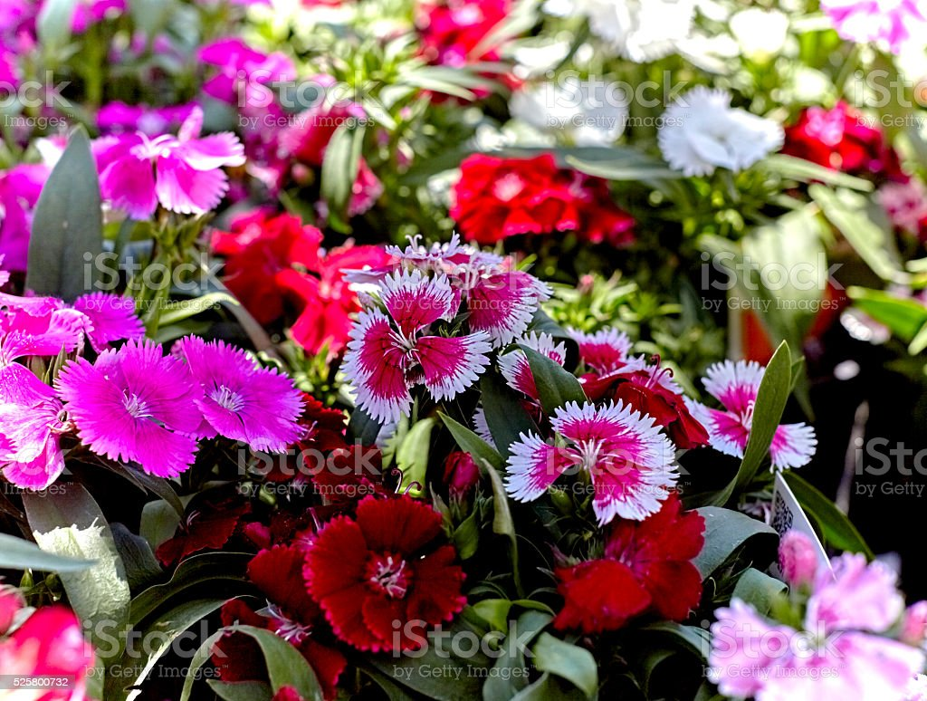 Pink and Red Dianthus in a Flower Garden stock photo