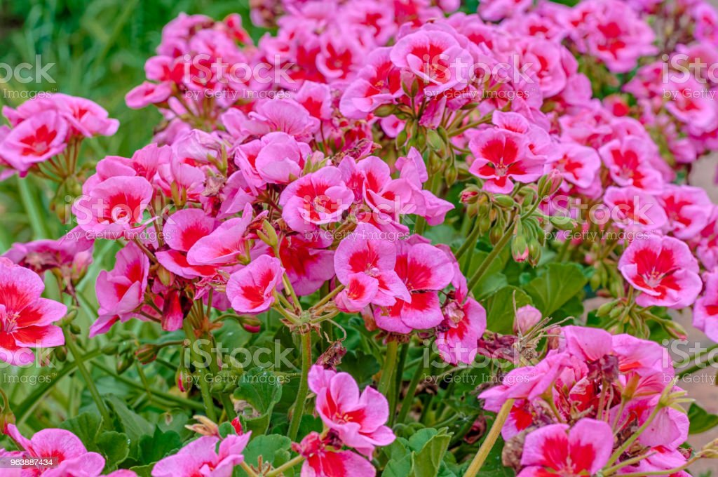pink and red geraniums in a garden - Royalty-free Beauty Stock Photo