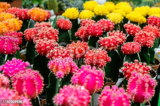 Pink and red Gymnocalycium cactus flowers. Indoor ornamental plant. Limited depth of field.