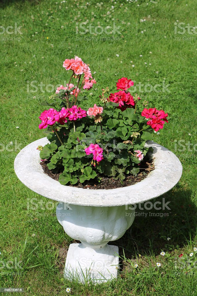 Pink and red pelargoniums in a white flowerpot foto royalty-free