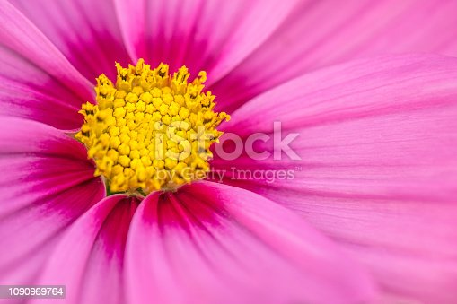Close up image of a cosmos flower in bloom in early summer.