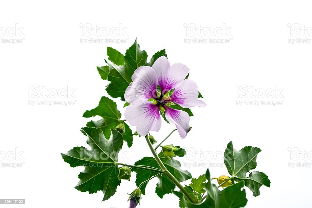 Pink and white Althaea isolated on white background stock photo